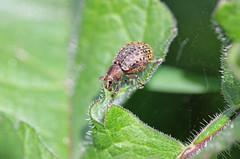 Munching Weevil (Liophloeus tessulatus) (RiverCrouchWalker) Tags: chelmerandblackwaternavigation weevil insect invertebrate spring april 2017 littlebaddow essex liophloeustessulatus