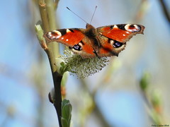 Peacock butterfly (Corine Bliek) Tags: butterflies vlinders nature natuur wildlife summer papillon mariposa outdoor butterfly