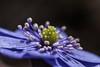 Blütenkarussell - flower corousel (ralfkai41) Tags: blossom blüte outdoor hepatica natur leberblümchen makro plant pflanten blume garten garden macro staubblätter flower petals nature