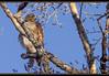 Red-something? (ctofcsco) Tags: 14x 1250 1d 1div 280mm 80 bird canon colorado ef200mm ef200mmf2lisusm ef200mmf2lisusm14x eos1d eos1dmarkiv 2017 alamosa birds cranes explore explored geo:lat=3745997671 geo:lon=10614014486 geotagged image landscape migration montevista montevistanwr nationalwildliferefuge nature northamerica photo photograph pic picture pretty renown sanluisvalley sandhillcrane sandhillcranefestival spring telephoto wildlife wwwmvcranefestorg zinzer extender extender14x extender14xii extenderef14x extenderef14xii f8 hawk mark4 markiv raptor redshoulderedhawk redtailedhawk supertelephoto teleconverter unitedstates usa