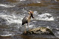 That's easier! (Karen Warren1) Tags: heron salmon eastlynriver river watersmeet bird exmoornationalpark exmoor walk1000miles2017 walk1000miles water worldinneedwalkersimplesitecom valley