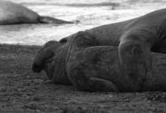 Lobos marinos 6 (isabel muskiz) Tags: lobos marinos animales animals argentina sea lions puerto madryn peninsula valdes mar patagonia
