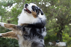 Almost (kirstinenichols) Tags: australian shepherd aussie dog puppy outside outdoors action nature jumping animal canine