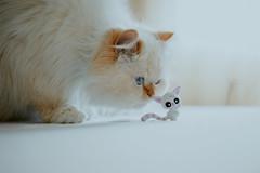 eatable ? (koolandgang) Tags: eatable misket misscat redpointhimalayan cat kedi kedici persian irankedisi