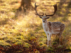 'The Morning Watch' (Jonathan Casey) Tags: fallow deer stag buck morning holkham hall norfolk uk england d810 400mm f28 vr nikon