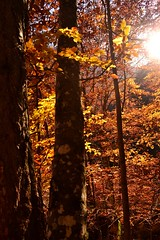 Yellow is capable of charming God (Christina 25) Tags: forest yellow gold sun macedonia makedonia macedoniatimeless trees greece leaves fall autumn nature outdoors sunbeams μακεδονία trunk bole
