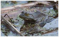 Bull Frog - Schuylkill County (PA) (J | M BIRDING) Tags: bullfrog lithobatescatesbeianus schuylkillcounty pennsylvania march 2017