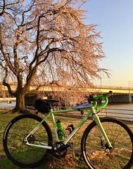 Pink and Green (Mr.TinDC) Tags: dc washingtondc hainspoint trees biking bike cherrytrees cherryblossoms allcity natureboy singlespeed spring