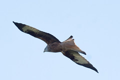 Red Kite in flight 2 (dougskik) Tags: chilternhills bird wildlife red kite raptor