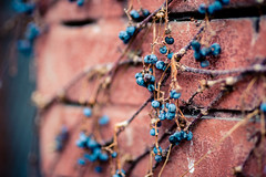 Hanging (rg69olds) Tags: 03052017 50mm 6d nebraska sigma50mmf14artdghsm canon canoneos6d oldmarket omaha sigma wall brick berry hanging winter dried vines plant 50mmf14dghsm|a