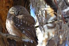 Sleepy Saw-whet Owl - 4240b+2b (teagden) Tags: sleepy sleeping sawwhet sawwhetowl swo jenniferhall jenhall jenhallphotography jenhallwildlifephotography wildlifephotography wildlife photography wild nikon bird birdphotography avianphotography avian tiny small predator birdofprey smallbirdofprey
