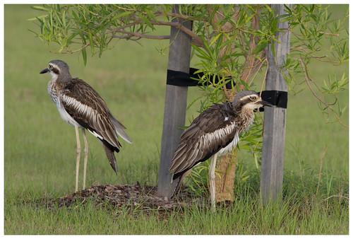 Bush Stone Curlews (aka Bush Thick Knee) (Burhinus grallarius) (55 centimetres)