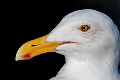 2017 Herring Gull (DrLensCap) Tags: california gull oceanside pier ca bird robert kramer herring coth5