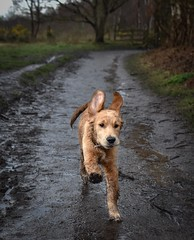 Woo hoo it's the weekend (Sharron Burns) Tags: wirral roydenpark outdoors woods canine animal dog running goldenretriever puppy guidedogpuppy