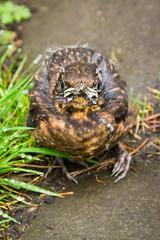 Juvenile Blackbird 46. Off the Beaten Track (Trevor King 66) Tags: blackbird thrush juvenile spring youngster bird wildlife nature glossop nikon d3100 derbyshire 46offthebeatentrack 117picturesin2017