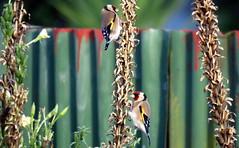 Finch(es) in April -002 (JayVeeAre (JvR)) Tags: ©2017johannesvanrooy bird birdfeeding birds birdsfeeding finch johannesvanrooy johnvanrooy gimp28 picasa3 httpwwwflickrcomphotosjayveeare johnvanrooygmailcom gimpuser gimpforphotography canonpowershotsx60hs wildflowerseeds wildflowers