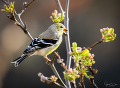 Feeling like springtime (John Clay173) Tags: bird newengland spring goldfinch ct jclay southwindsor