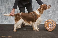 Best in Show, Best Dog & Limit Dog - Taimere's Twister round Nyliram JW ShCM (evinrisca) Tags: welshspringerspaniel wales chepstow championship dogshow welshie spaniel champshow