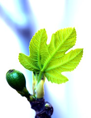 Beginning of a Fig (christiane.grosskopf) Tags: fig feigenbaum feigenblatt figleaf figtree palatinate pfalz feige macro blatt leaf green grün