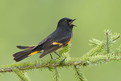 American Redstart - Michigan (www.studebakerstudio.com) Tags: american redstart warbler studebaker singing song spring bird songbird animal nature michigan hiawatha