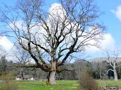 Imposante Bäume (HITSCHKO) Tags: baum solitärbaum tanne fichte laubbaum jura landschaft schweiz suisse svizzera svizra switzerland romandie larcjurassienbernerjura lesprésdorvin orvin chasseralkette neuenburg neuchâtel
