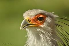 Secretarisvogel (Agnes Van Parijs) Tags: vogel bird dierentuin planckendael secretarisvogel muizen mechelen dierenpark