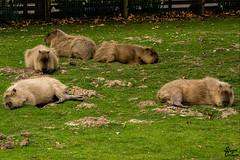 Lazing Capybara (MrStuy) Tags: howletts wild animal park capybara