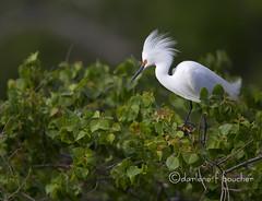 snowy egret (amaw) Tags: winner