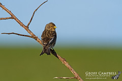 Twite (Carduelis flavirostris) (gcampbellphoto) Tags: twite rare bird finch passerine nature wildlife irish biodiversity ballycastle co antrim north northern ireland carduelis flavirostris outdoor