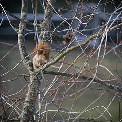 _TAG4375_D1 (thiger_fr2000) Tags: écureuil roux squirrel