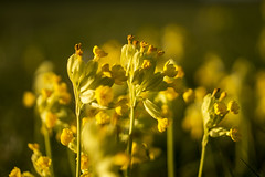 Lots of Cowslips (stevedewey2000) Tags: flora wiltshire salisburyplain macro flowers wildflowers cowslips cowslip explore explored minolta50mmmacro