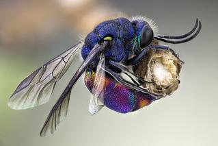 Chrysididae, Cuckoo Wasp