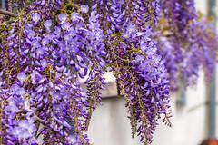 Its raining purple (ralfkai41) Tags: hdr plant pflanzen blumen purple wisteria blauregen flower blüten nature outdoor blossoms wistarie natur glyzinie garten garden