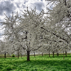 Covered with Blossoms (enneafive) Tags: hesbania borgloon cherry tree blossom trees flowers grass green olympus omd em5 clouds spring