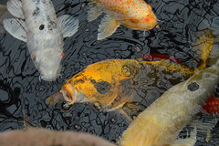 conservatory (lacey.puskaric) Tags: chicago photo photography plant life beauty nature natural gorgeous inspiration f4f fish japan koi pescado sharp cool pond water