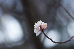 IMG_2575crs (kenta_sawada6469) Tags: flower flowers japan japaneseapricot japanese ume macro tree trees nature