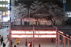 IMG_0521 (digitalbear) Tags: canon powershot g9x markii mark2 nakano dori sakura cherry blossom blooming fullbloom tokyo japan yozakura hanami
