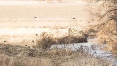 Peippoja (Cano Vääri) Tags: birds birdsflying fringillids lavansuo ypäjä nature spring peippoja finland