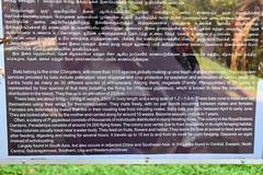DSC (879) (wanderamore) Tags: srilanka botanicalgardens peradeniya flyingfox