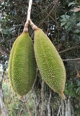 pente de macaco (jakza - Jaque Zattera) Tags: fruto dois verde semente