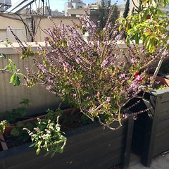 Magic Mountain Basil and White Flowering Basil (Assaf Shtilman) Tags: magic mountain pink flowering basil white new