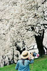 她說要去有櫻花的地方,有櫻花的地方就會有她。 ([M!chael]) Tags: nikon f3hp nikkor 10525 ais kodak ultramax400 film manual japan kyoto flower cherry sakura 背割堤 八幡市 櫻花 sewaritei