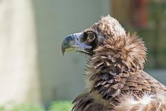 Geier (grasso.gino) Tags: tiere animals natur nature zoo münster nikon d5200 vogel bird geier mönschsgeier vulture monkvulture