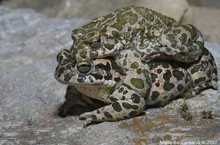 Bufotes viridis (Rospo smeraldino / European green toad / Wechselkröte / Sapo verde / Crapaud vert)