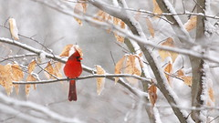 Cardinal on a Snowy Day (Sandra_Gilchrist) Tags: sandragilchrist whitby whitbyon whitbyontario cloca centrallakeontarioconservationauthority conservationarea bird avian snow snowing cardinal northerncardinal