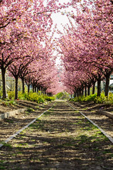 •Always push the limits! Cause if you never fail, you will never succeed. (hgxphoto) Tags: trees cherryblossom nature
