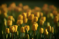 Yellow Tulips (paulinuk99999 - tripods are for wimps :)) Tags: paulinuk99999 hampton court palace gardens spring 2017 sal70400g