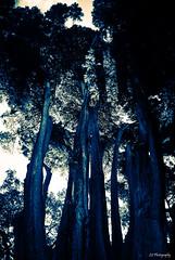 Gentle giants (.KiLTRo.) Tags: melbourne victoria australia kiltro trees park royalbotanicgardens botanic nature monotone blue