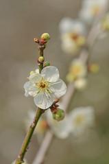 Japanese ume blossom (Yam@chan) Tags: japan nara tsukigase ume plum grove blossom nikon f28 90mm tamron