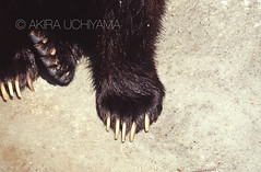 ZOO0267 (Akira Uchiyama) Tags: 動物たちのいろいろ 手 手ヒグマ